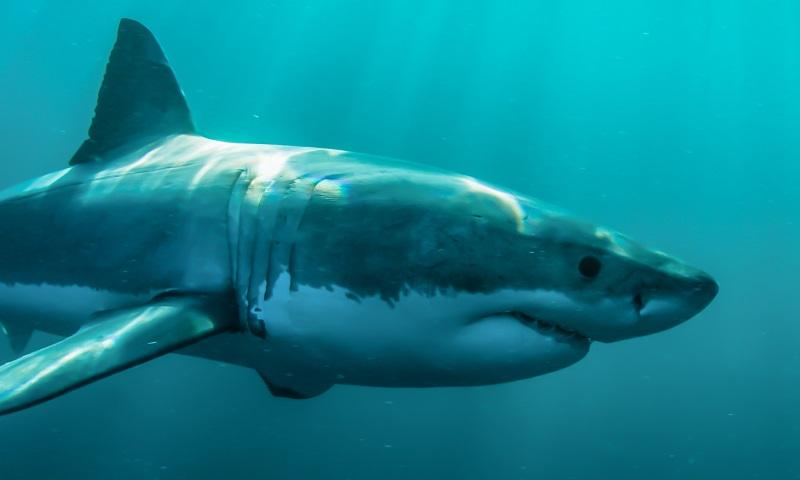Bien-aimé Les animaux marins les plus dangereux – Miss & Mister Corail CW69