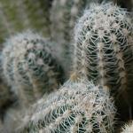 cactus 012