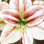Fleur Noel 001