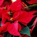 Fleur Noel 002