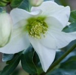 Fleur Noel 004