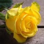 Fleur rupture 004
