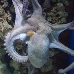 Les animaux marins les plus dangereux pieuvre