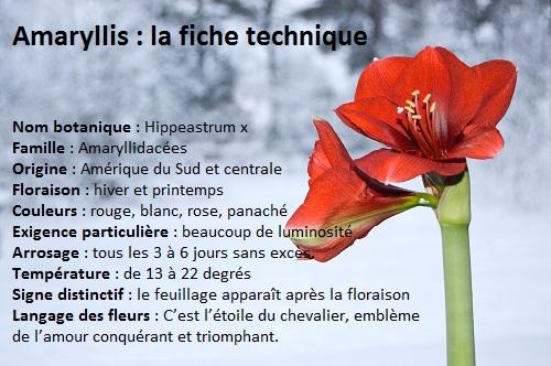 Amaryllis fiche technique