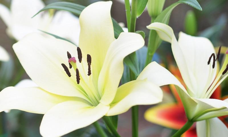 Le lys portrait du roi des fleurs miss mister corail - Signification de la fleur de lys ...