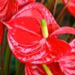 Fleur exotique anthurium