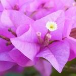 Fleur exotique bougainvillier