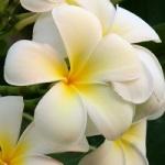 Fleur exotique frangipanier