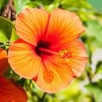 Fleur exotique hibiscus
