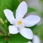 Fleur exotique jasmin de madagascar