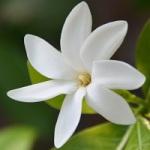 Fleur exotique tiare