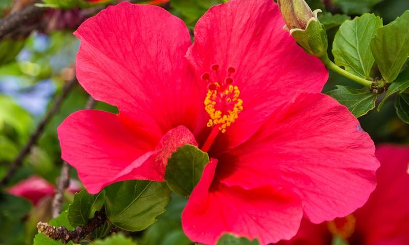 hibiscus d intrieur entretien cheap hibiscus d intrieur entretien with hibiscus d intrieur. Black Bedroom Furniture Sets. Home Design Ideas