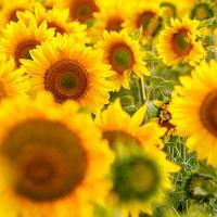 Langage des fleurs déclaration