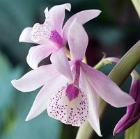 Orchidée 7
