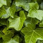 Plante verte 017