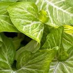Plante verte 028