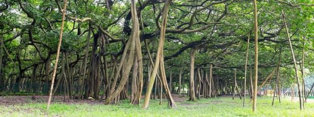 Arbres et forêts insolites du monde 13