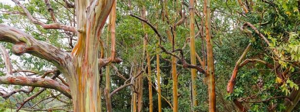 Arbres et forêts insolites du monde 6