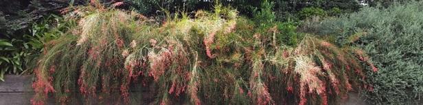 La plante corail
