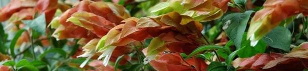 La plante crevette