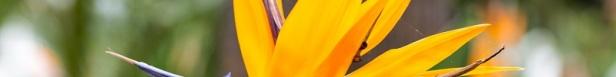 Oiseau de paradis langage des fleurs