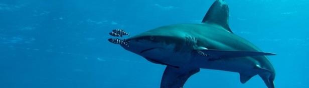 Les requins les plus dangereux du monde 4
