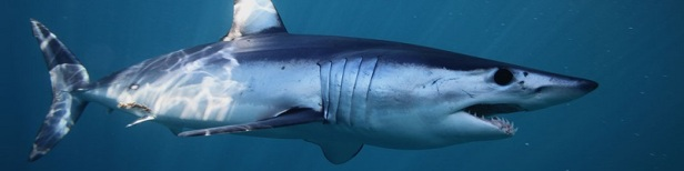 Les requins les plus dangereux du monde 5