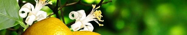 Fiche fleurs citronnier