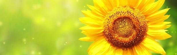 Fleurs de la passion - Le tournesol