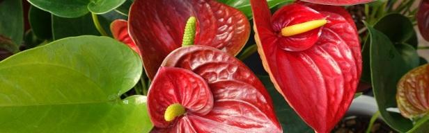 Fleurs de la passion - Les fleurs exotiques