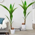 Conseil entretien palmier 10