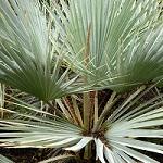 Conseil entretien palmier 2