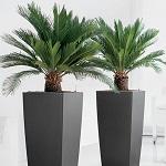 Conseil entretien palmier 5