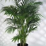 Conseil entretien palmier 8