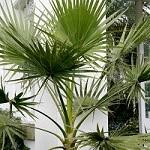 Conseil entretien palmier 9