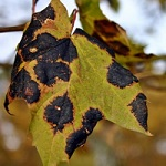 Traitement maladie plante taches foliaires