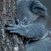 Koalas danger