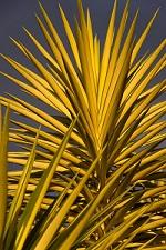 Yucca entretien