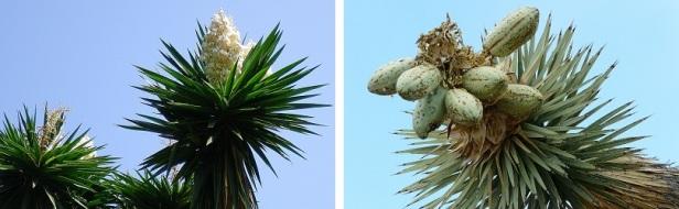 yucca floraison