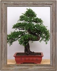 Ulmus parvifolia entretien