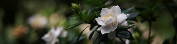 Plante d'intérieur parfumée 3