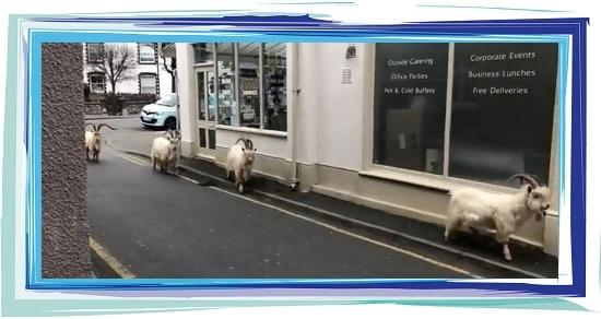 Confinement chèvres