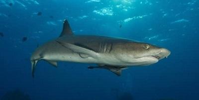 Requin 02