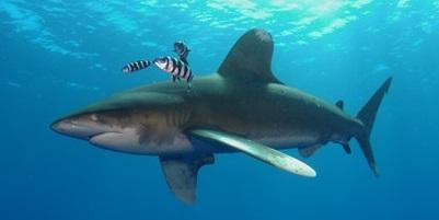 Requin 03
