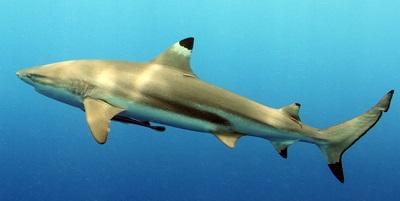 Requin 09