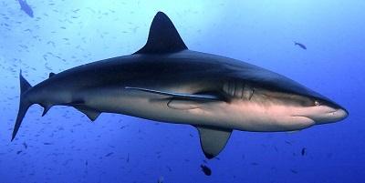 Requin 10