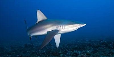 Requin 12
