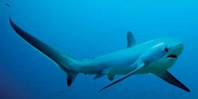 Requin 14