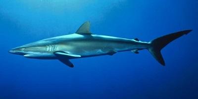 Requin 15