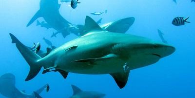 Requin 16